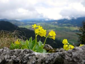 Alpenaurikel am Grat