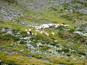 Die Schafe werden aus dem Tal getrieben