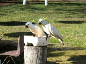 Kakadus beim Frühstück