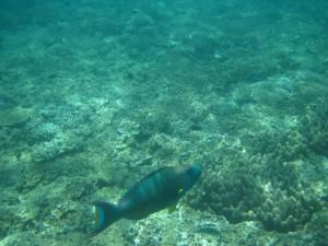 Dieser Papageienfisch ist lieber allein unterwegs