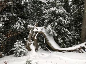Das Lenggieser Baumkamel (Camelus Arboriensis Lenggrisae)