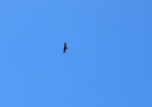 Ein junger Steinadler hoch über uns
