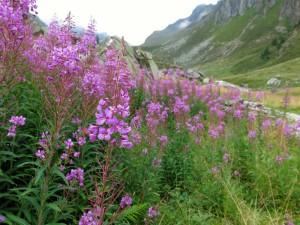 Herrliche Blumen unterhalb der Eisbruggalm