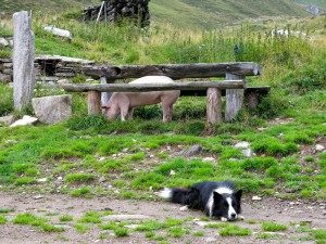 Tischschwein und Hofhund
