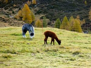 Südtirol oder Südamerika: Alpakas an der Hirzerhütte