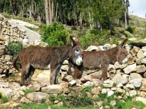 Morgens grüßen uns diese beiden zotteligen Esel.