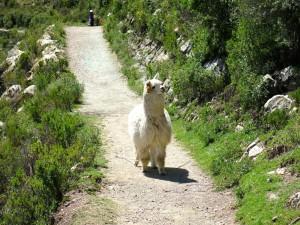 Dieses Alpaca entwickelte eine erstaunliche Geschwindigkeit.