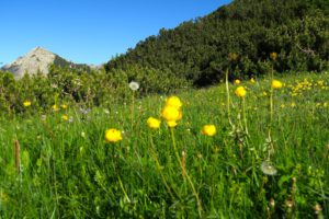 Trollblumen vor Aiplspitz