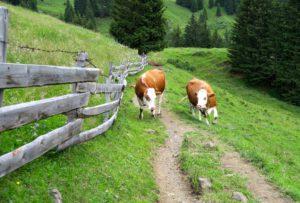 Rindviecher gibt es auf der Alm natürlich auch.