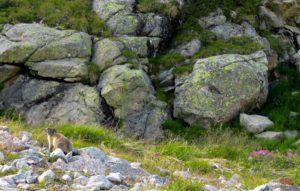 Ein pelziger Bergfreund