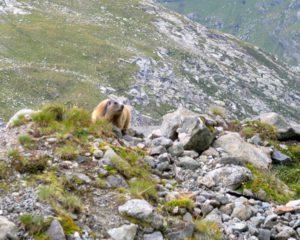 Noch ein pelziger Bergfreund
