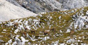Steinböcke im herbstlichen Karwendel