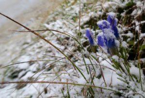 Der erste Schnee liegt auf den letzten Blüten.