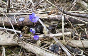 Im Wald blühen die Leberblümchen.