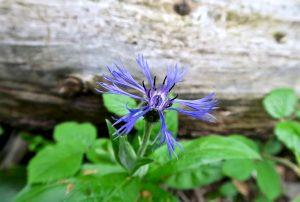 Alpenkornblume bzw. Berg-Flockenblume