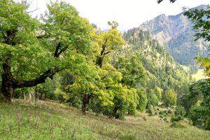 Schöner Bergahorn am Aufstiegsweg