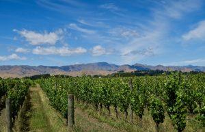 Weinanbau im Wairau Valley
