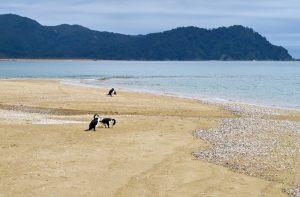 Die Elsterscharbe ist eine in Neuseeland und Australien verbreitete Kormoranart.