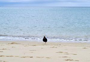 Ein Neuseeländischer Austernfischer beim Wadentraining