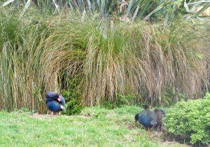 Takahes mit adoptiertem Nachwuchs