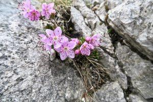 Die Zwerg-Alpenrose macht was her zwischen den Felsen.