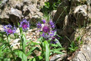 Immer wieder schön: Die Alpenkornblume