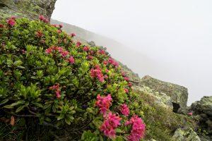 Diese Alpenrosen waren ein willkommener Farbtupfer an diesem grauen Tag.