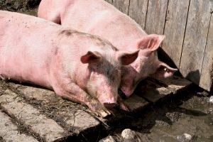 An der Fiderepasshütte leben glückliche Almschweine.
