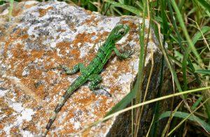 Neben Ruinen sind in Uxmal auch viele Reptilien zu sehen.