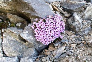Kleine Blumen am Grat
